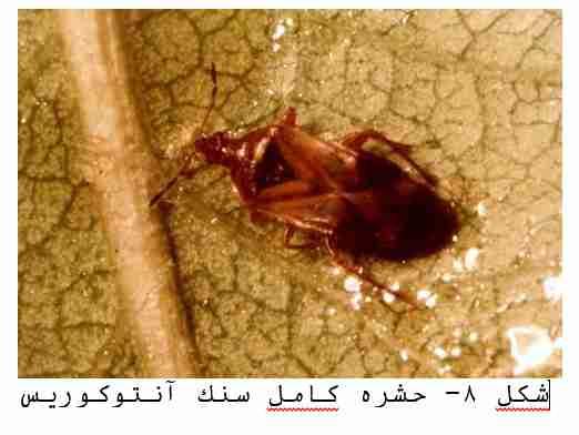 حشره کامل سنک انتوکوریس