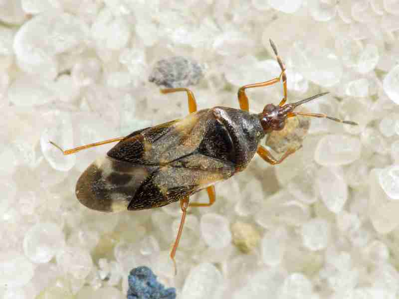 Anthocoris nemoralis Fabricius