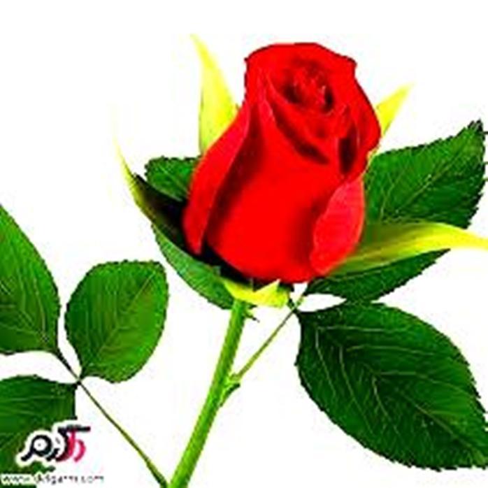 http://s9.picofile.com/file/8267910976/GOLE_ROZ_1.jpg
