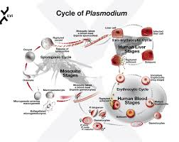 پاورپوینت سیر تکاملی پشه انوفل و مالاریا - پاورپوینت زیست شناسی