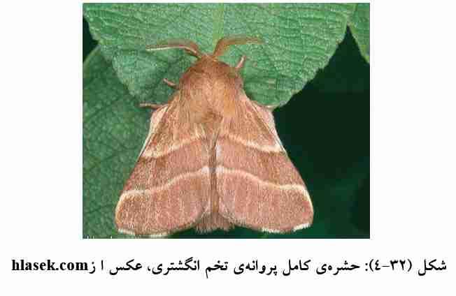 پروانه تخم انگشتری