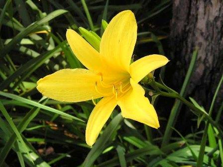 زنبق زرد