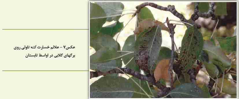 خسارت کنه تاولی گلابی روی برگ اوایل تابستان
