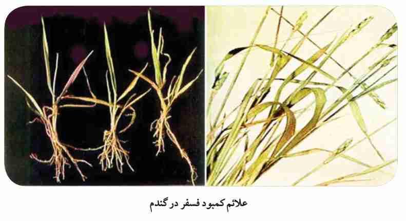 سبز  گندم در خاک آشنایی با اصول فنی داشت گندم - شرکت کشاورزی و دامپروری ...