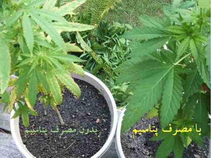 تاثیر پتاسیم در رشد گیاهان