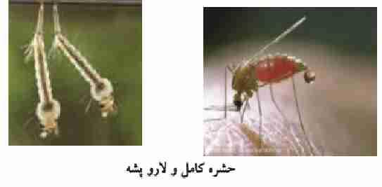 حشره آنافل ناقل بیماری مالاریا