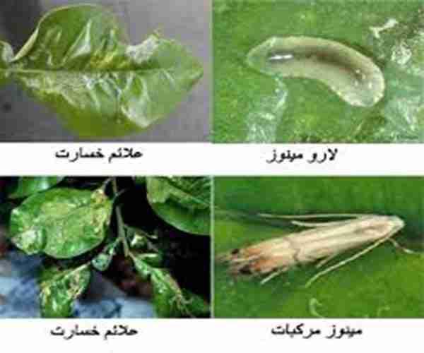 Phyllocnistis citrella St