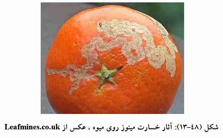 خسارت پروانه مینوز مرکبات روی میوه