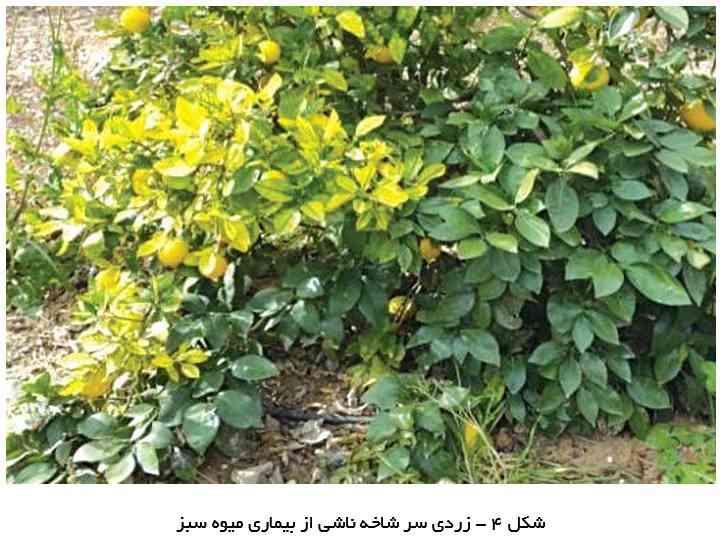 زردی سر شاخه ناشی از بیماری میوه سبز