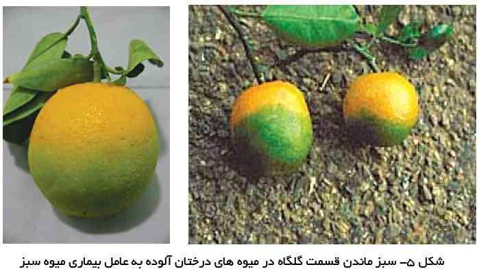 علایم میوه سبز روی میوه