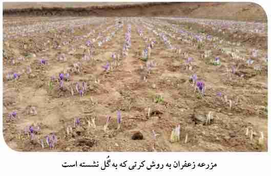 مزرعه به گل نشسته زعفران در کشت کرتی
