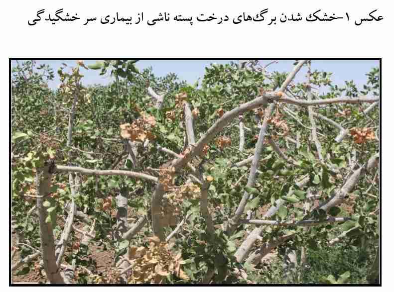 خشک شدن برگهای درخت ناشی از بیماری سرخشکیدگی