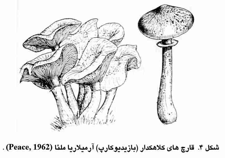 قارچهای کلاهکدار آرمیلاریا