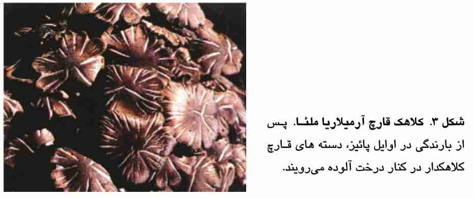 کلاهک قارچ آرمیلاریا