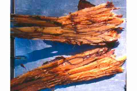 پوسیدگی قهوه ای ریشه