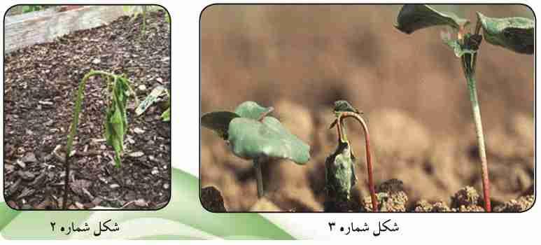 سبز خشک شدن گیاهچه