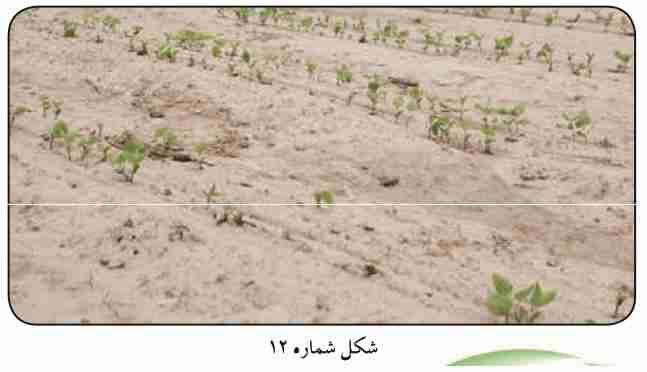 نابودی گیاهچه ها در مزرعه بر اثر بوته میری