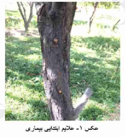 علایم ابندایی بیماری شانکر باکتریایی درختان میوه هسته دار