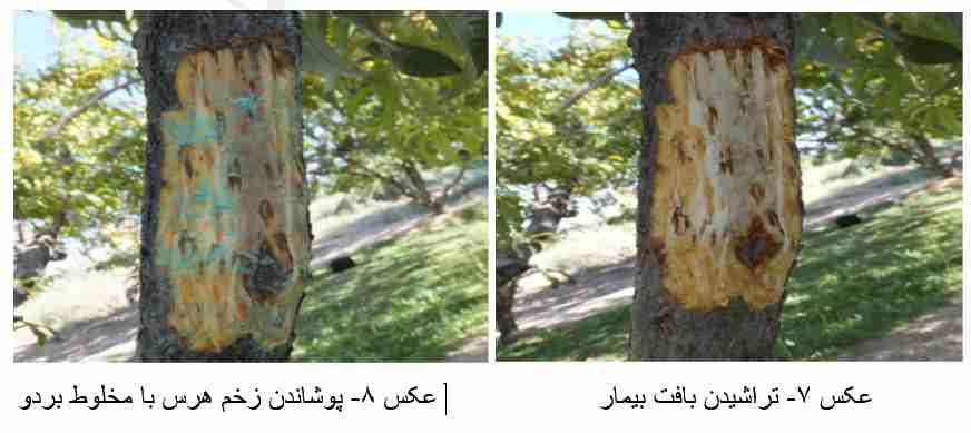 پانسمان زخم شانکر باکتریایی درختان میوه هسته دار