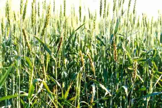 نمای کلی بوته های آلوده در مزرعه