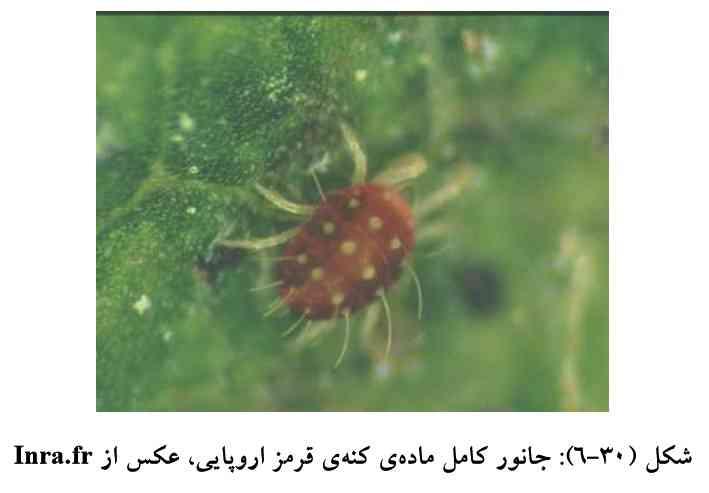 حشره ماده کنه قرمز اروپایی