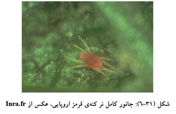 حشره نر کنه قرمز اروپایی