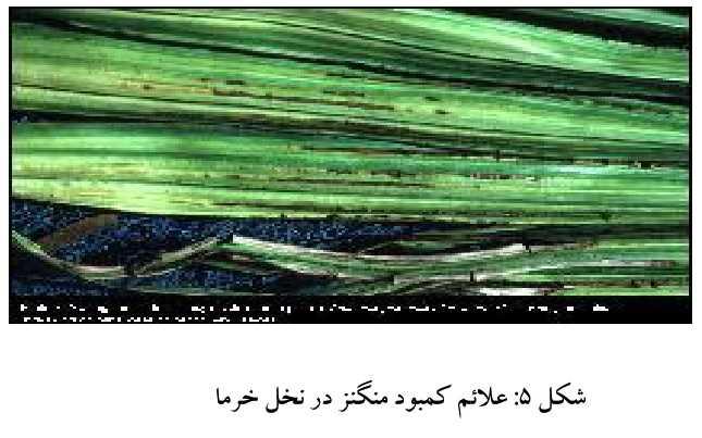 علایم کمبود منگنز در خرما