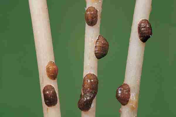 Diaspidiotus perniciosus