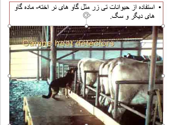 پاورپوینت فحلی در گاو های شیری ، فحلی در گاو ، مقاله فحلی در گاوهای شیری ، دانلود مقاله فحلی در گاوهای شیری ، مقاله فحلی گاو ، مراحل فحلی در گاو