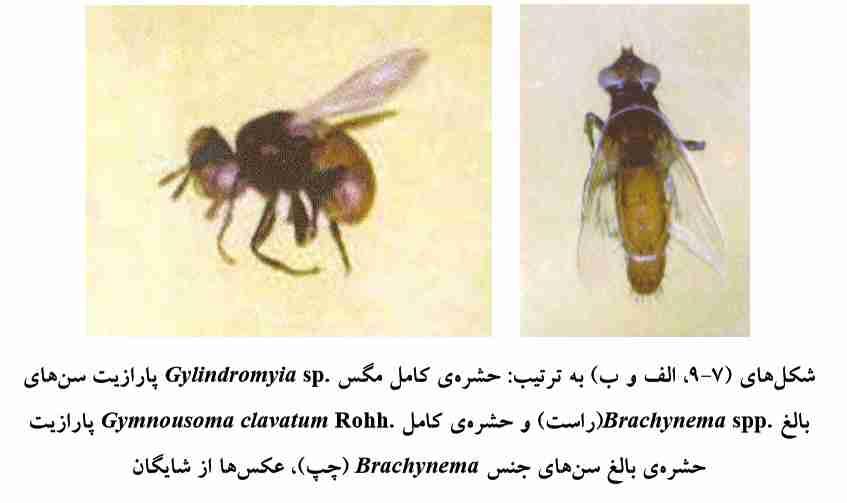 حشره کامل مگس Gylindromyia sp و حشره کامل Gymnousoma clavatum Rohh