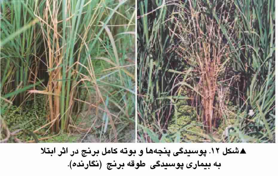 پوسیدگی طوقه برنج