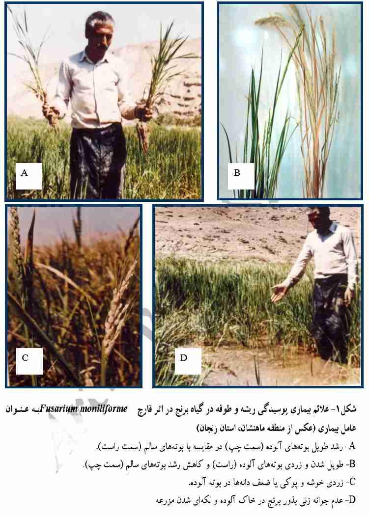 علایم بیماری پوسیدگی طوقه برنج