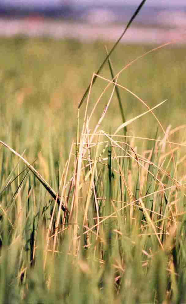 قد کشیدگی ساقه در اثر بیماری پوسیدگی طوقه برنج