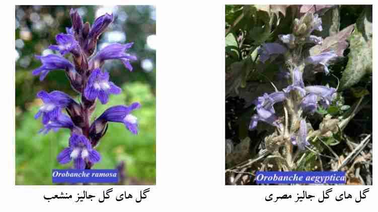 گیاهشناسی گل جالیز