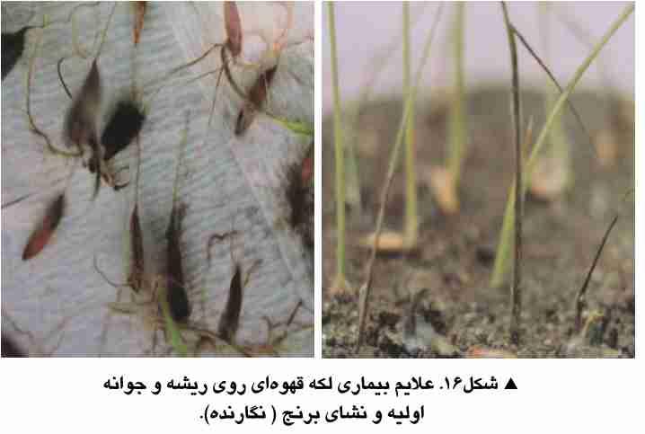علایم بیماری لکه قهوه ای برنج روی ریشه و جوانه اولیه و نشا برنج