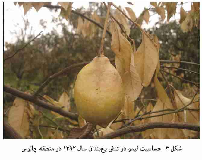 حساسیت لیمو به یخبندان