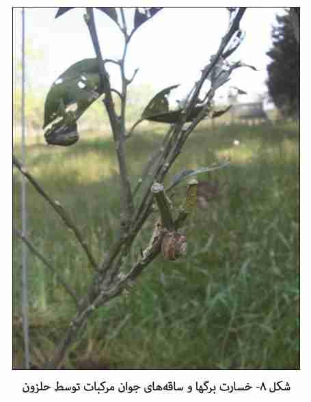 خسارت حلزون روی درخت مرکبات