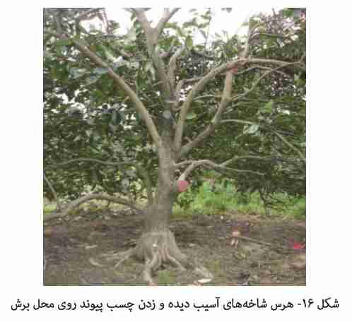 هرس و زدن چسب بر روی شاخه های آسیب دیده