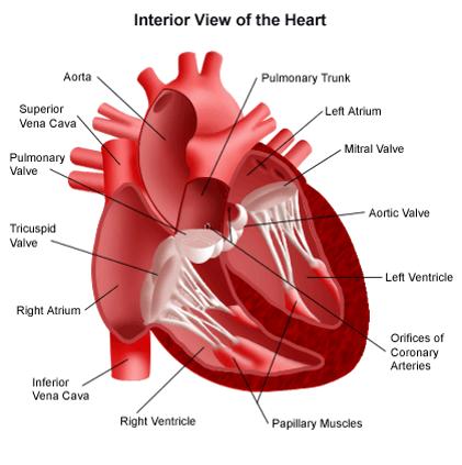 دانلود رایگان  جزوه  فيزيولوژی قلب و دستگاه گردش خون (پاور پوینت )