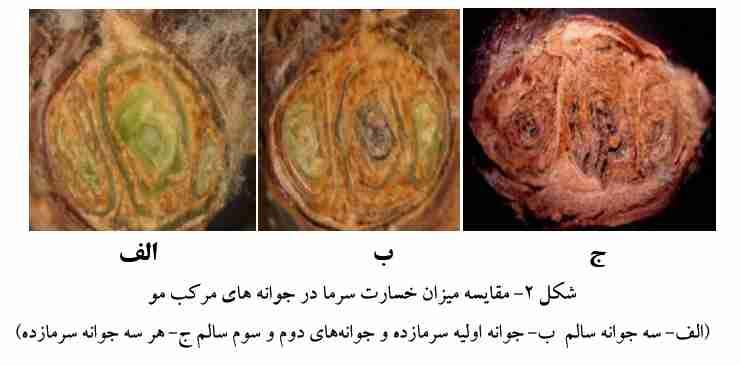 مقایسه خسارت سرما به جوانه های انگور