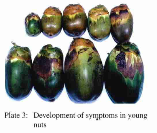 Aceria (Eriophyes) Guerreronis
