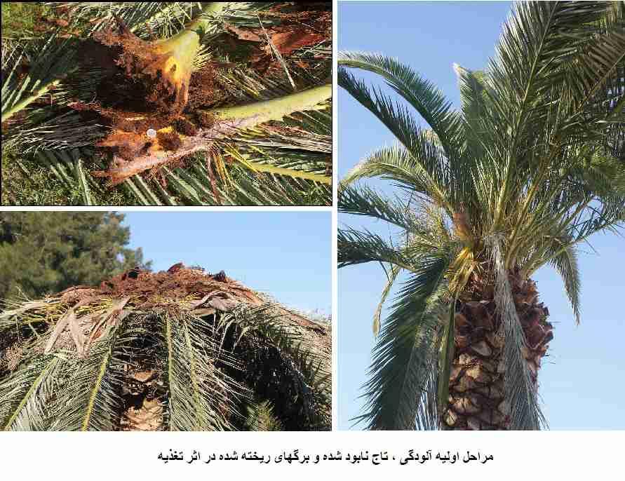 علایم خسارت سرخرطومی حنایی خرما روی درخت خرما