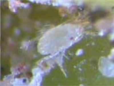 Paratetranychus afrasiaticus ( کنه آردآلود خرما )