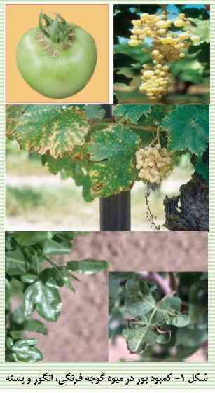 علایم کمبود بور در گوجه فرنگی انگور و پسته