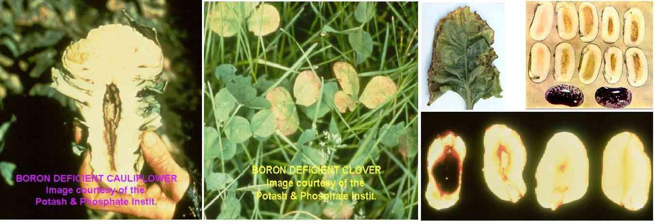 علایم کمبود بر در گیاهان