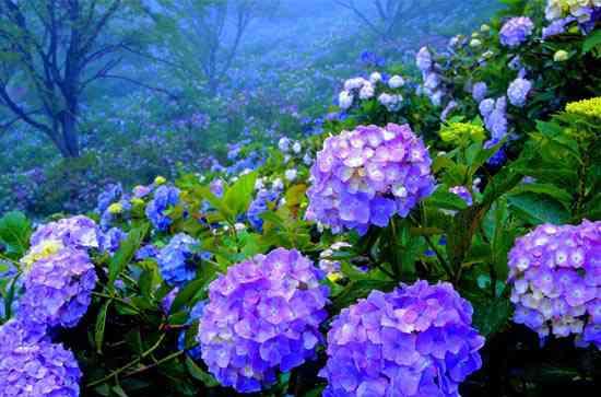 گل ادریسی
