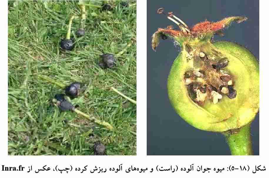 علایم خسارت پشه میوه گلابی روی میوه های جوان و ریزش کرده