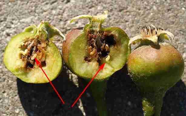 لارو در داخل میوه