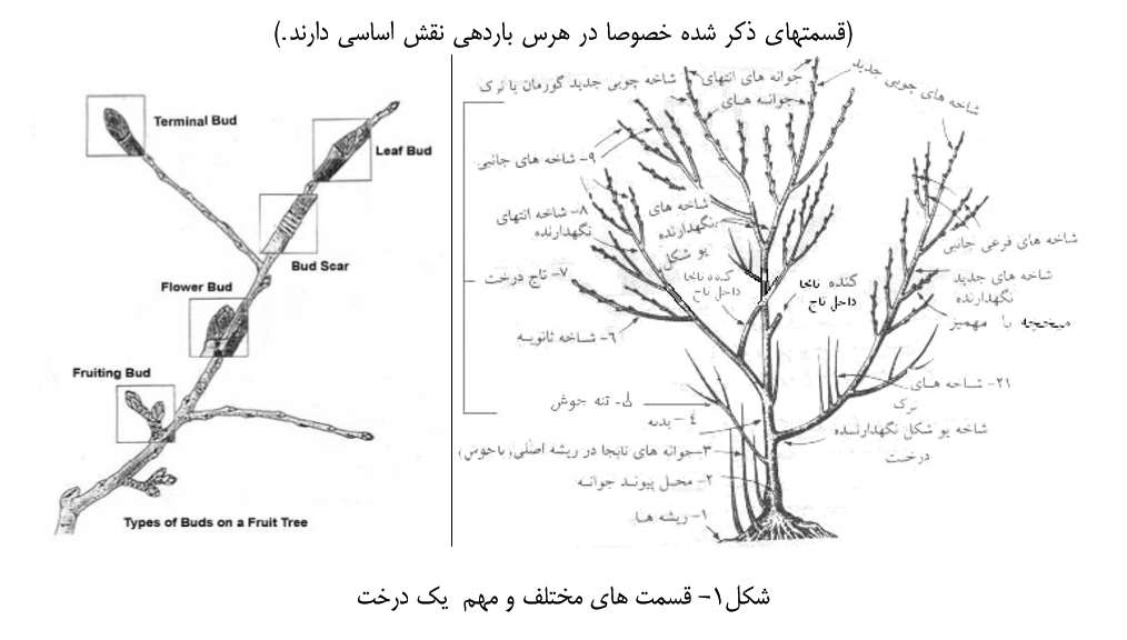 قسمتهای مختلف و مهم یک درخت ( آموزش هرس )
