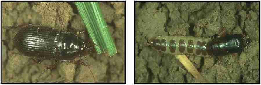 حشره کامل و لارو سوسک سیاه گندم